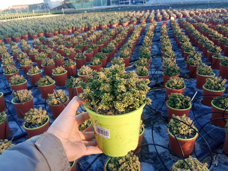 Producci n de plantas ornamentales y jardiner a compra for Produccion de plantas ornamentales